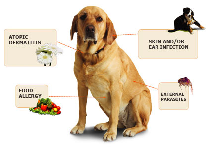 Dog Atopic Dermatitis