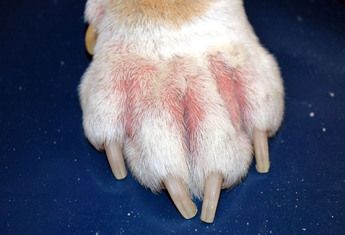 Dogs Dermatitis